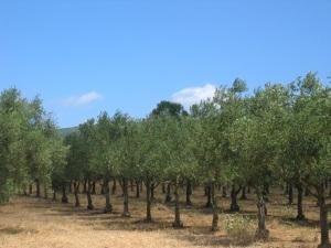 argei biologische olijfolie